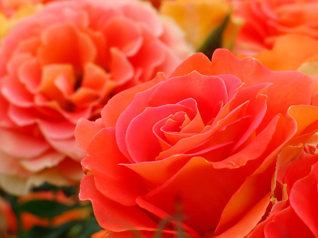バラの画像 p1_12