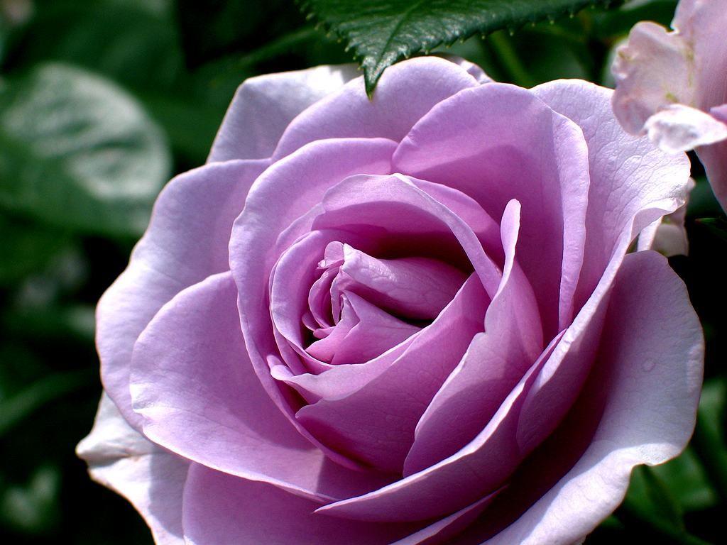 バラの画像 p1_14