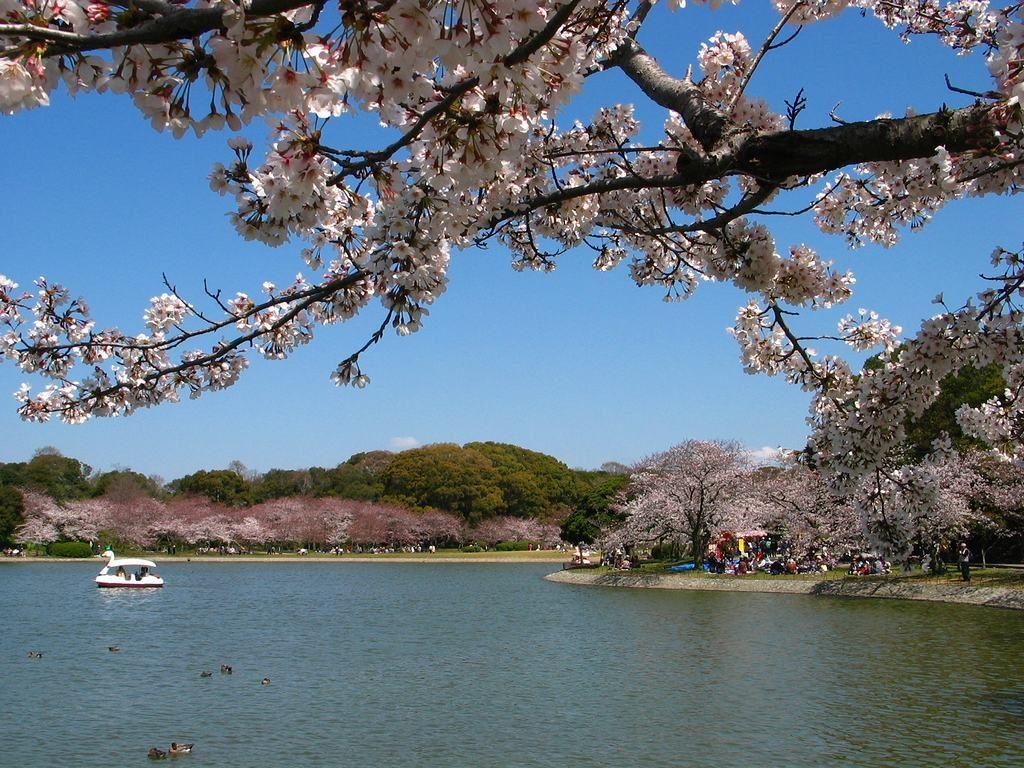 http://kobe.travel.coocan.jp/photo/higashiharima/akashikouen/sakura/sakura_004.jpg