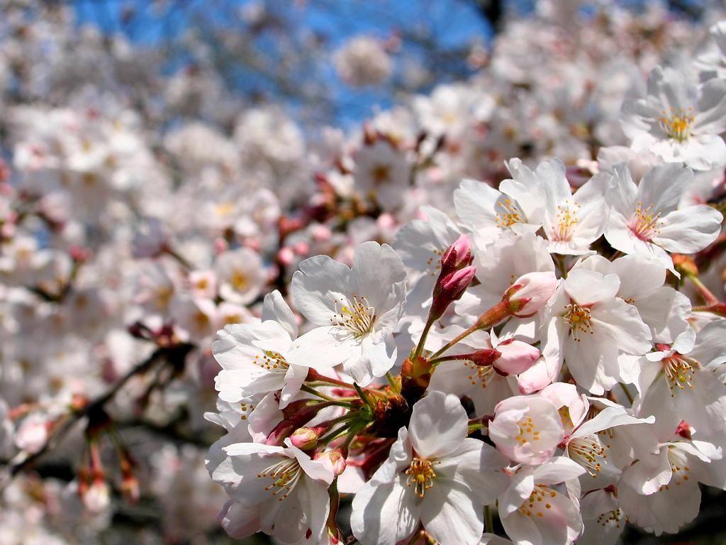 日岡山公園の桜(サクラ)の花 日岡山公園の桜(サクラ)の花 日岡山公園の桜と花見 所在地  桜並