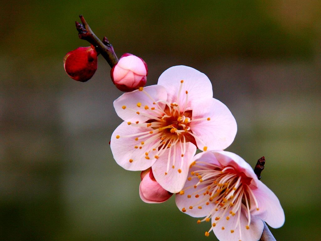 梅の画像 p1_22