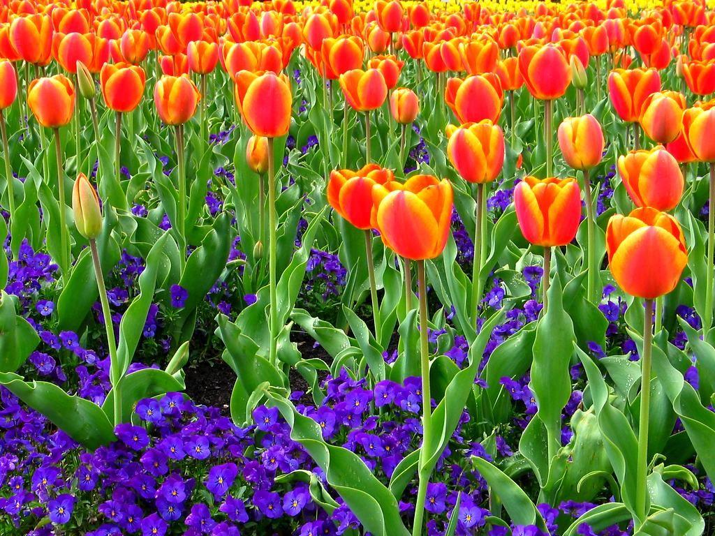 チューリップの花畑と春の花 チューリップの花畑と春の花 チューリップの花  チューリップの花・チ