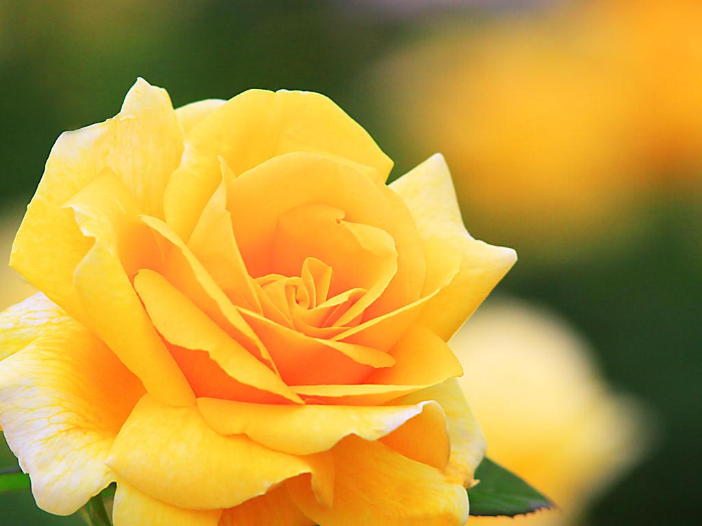 バラの画像 p1_18