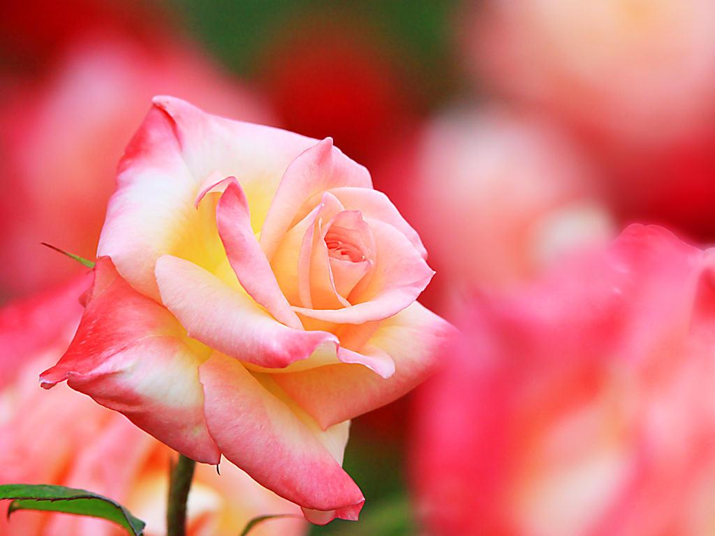 バラの画像 p1_8