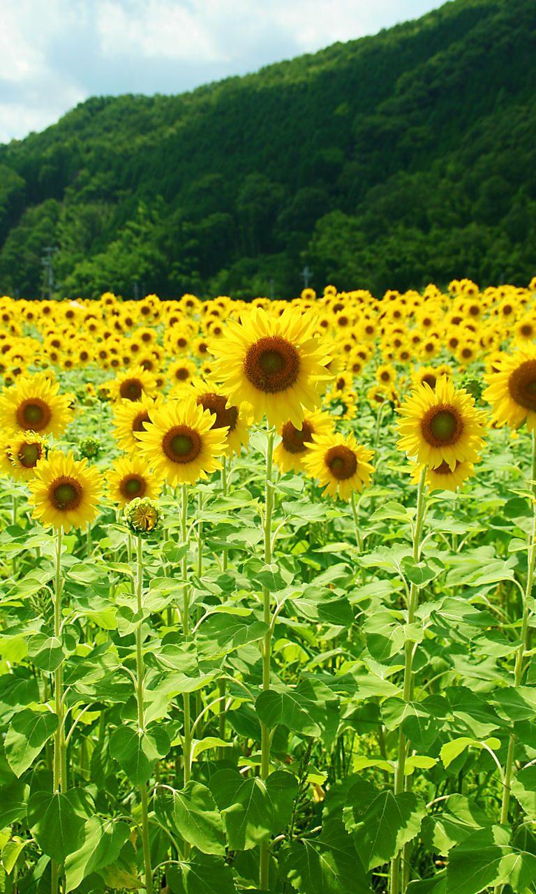 佐用町南光・東徳久地区のひまわり畑とひまわりの花[壁紙写真 ...
