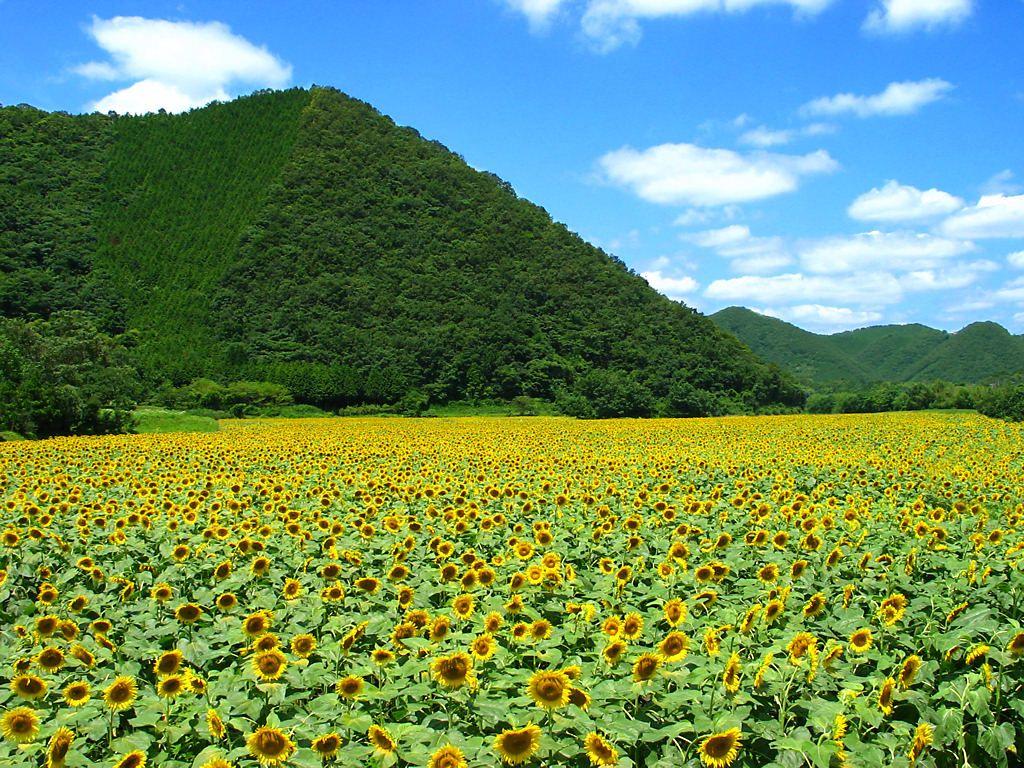 佐用町南光・宝蔵寺地区のひまわり畑とひまわりの花[壁紙写真 ...