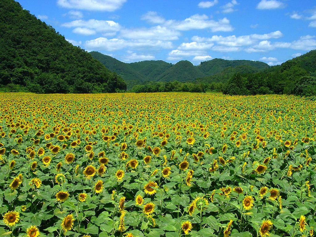 画像 : 夏だ!そうだ!ヒマワリ畑に行こう♫【関西の ...