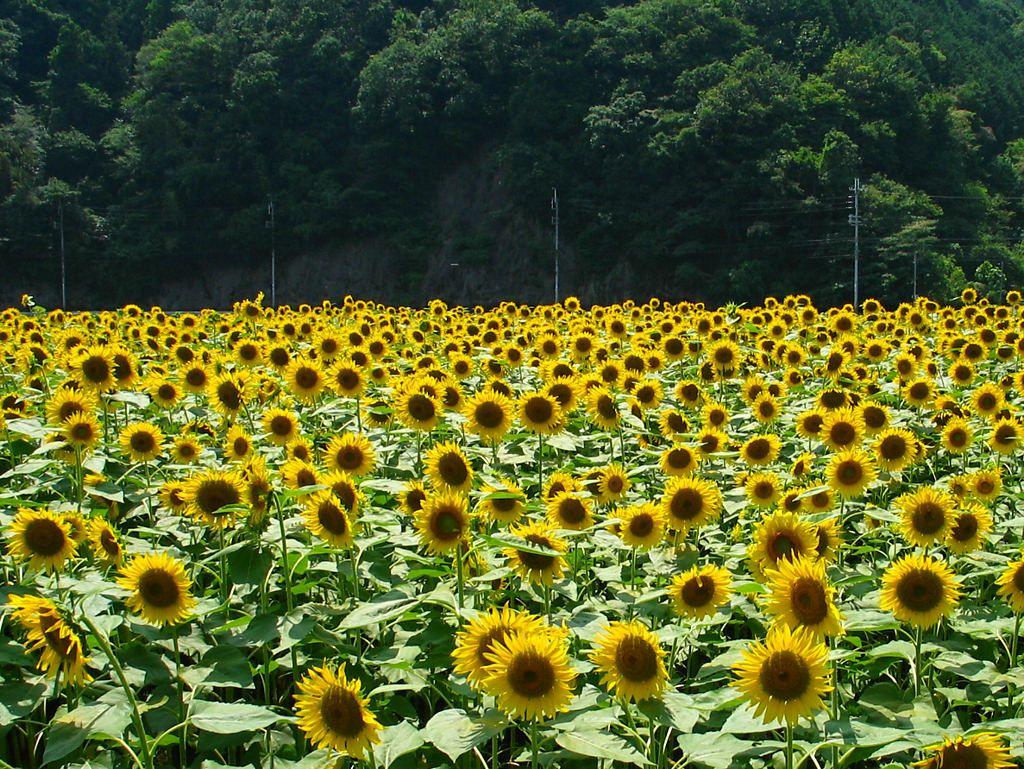 佐用町の南光・漆野地区のひまわり畑とひまわりの花[壁紙写真 ...