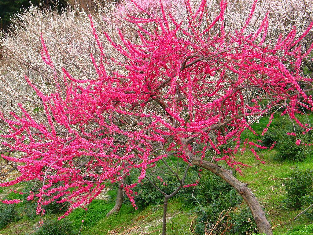 梅の画像 p1_7