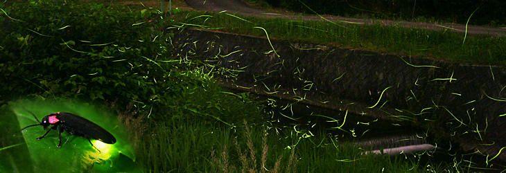 ホタルの画像 p1_14