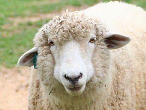: 【2015年・年賀状・干支】羊 ... : 羊 イラスト 2015 : イラスト