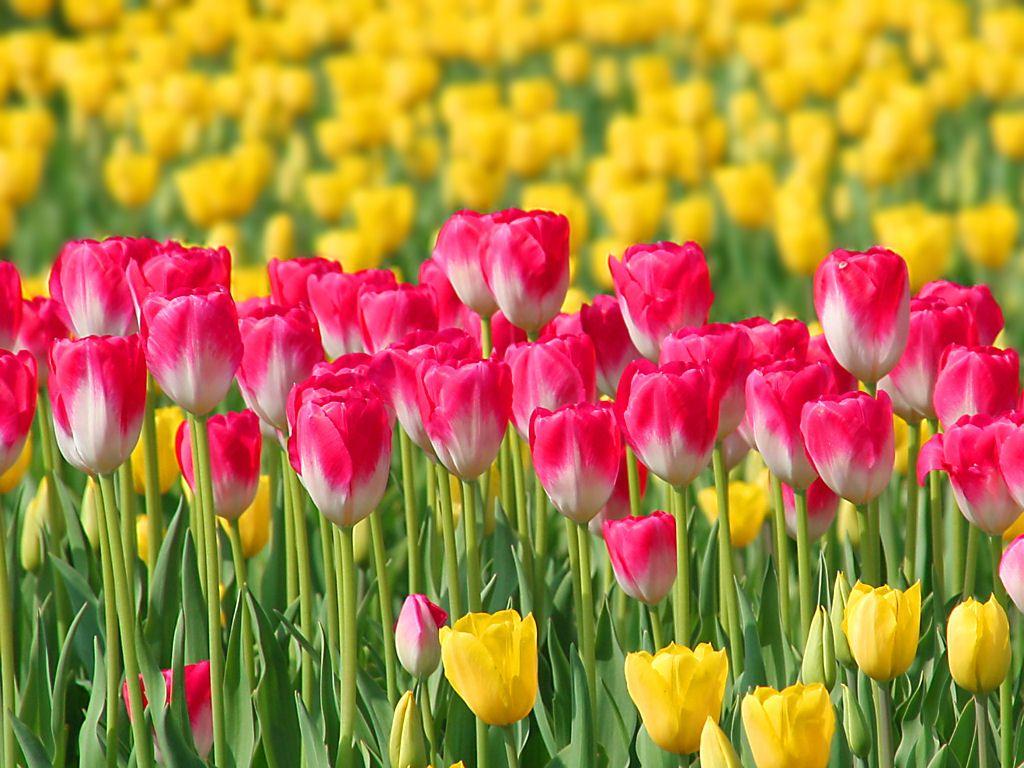 チューリップの花[壁紙写真集 ...